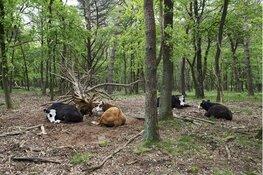 Het grazen voorbij; tentoonstelling 'De koe' in Stedelijk museum Alkmaar