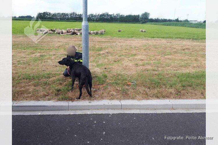 Honden jagen schapen de sloot in bij Heiloo