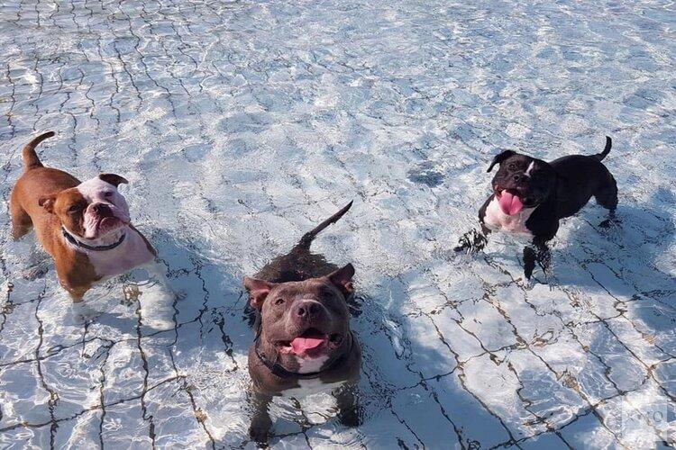 Hondenzwemmen in zwembad Hoornse Vaart