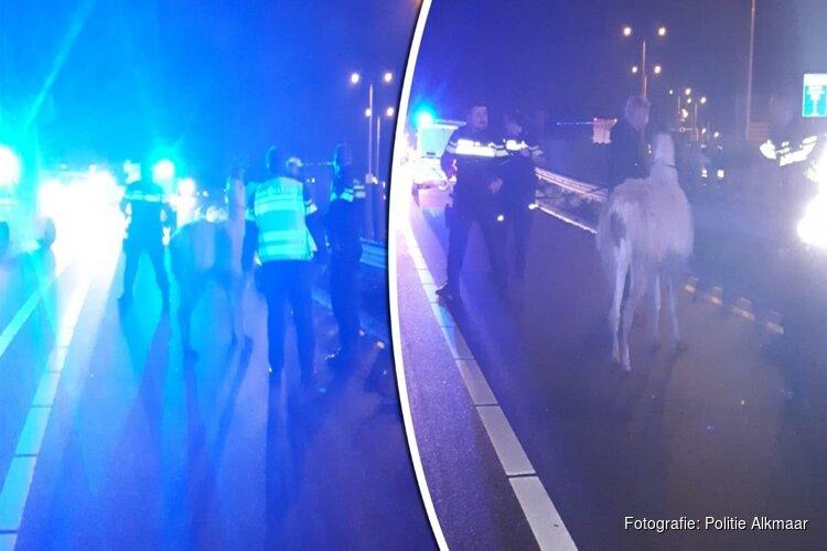 Politie redt ontsnapte lama van Westdijk bij Alkmaar